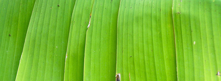 Banana tree leaf Facebook cover photo