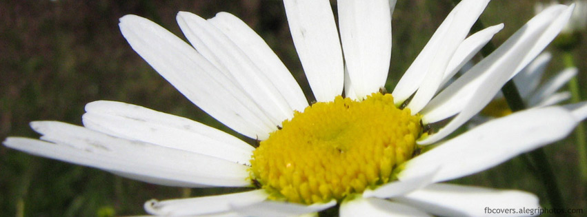 Big white flowers with star like petals and yellow center facebook big white flowers with star like petals and yellow center facebook cover image mightylinksfo