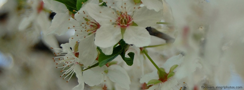 Blooming mirabelle tree Facebook cover photo