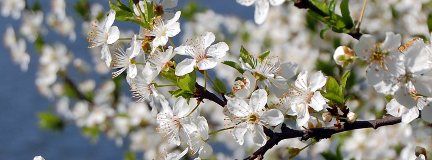 Blooming tree with water on background Facebook cover photo