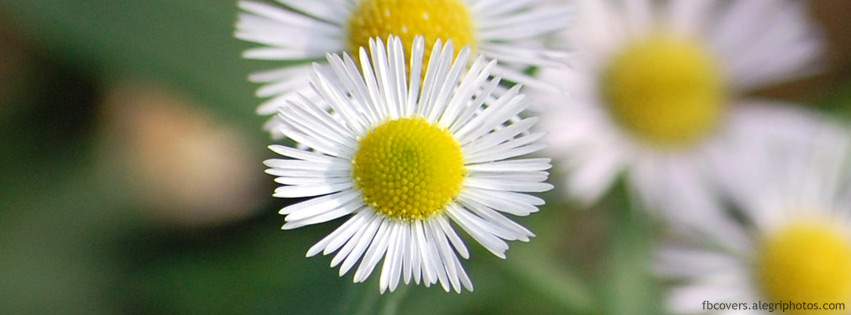 Chamomile Facebook cover photo