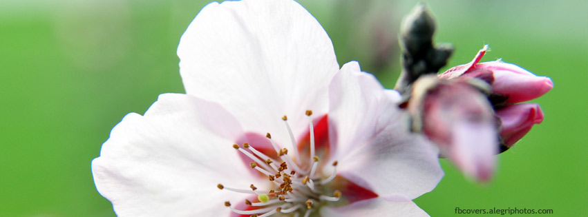 Cherry flower macro Facebook cover photo