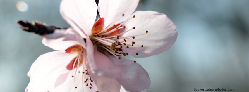 Cherry flowers macro Facebook cover photo