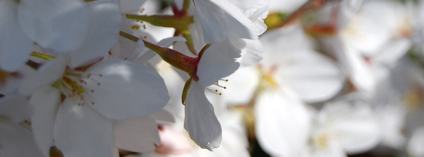 Cherry tree in blossom Facebook cover photo