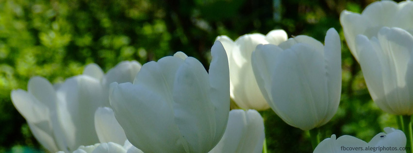 Group of white blossomed tulips Facebook cover photo