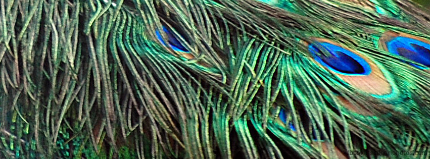 Peacock plumage Facebook cover photo