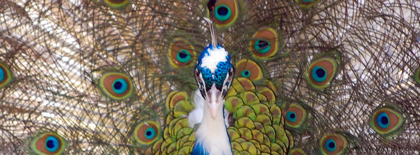 Vibrant color feathers on peacock Facebook cover photo